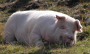 images:the_big_data_pig.png